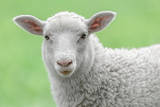 Face of A White Lamb Fotoprint van  stefanholm