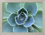 Succulent Echeveria Framed Photographic Print by Clay Perry