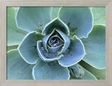 Succulent Echeveria 額入り写真プリント : クレイ・ペリー