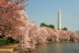 Kirschblüten Fotografie-Druck von  rblekicki