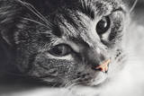 Cute Cat Lying in Lazy, Sleepy Pose Looking at the Camera with its Magnetic Eyes. close Portrait. B Fotografie-Druck von Michal Bednarek