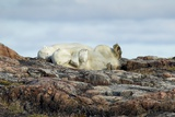 Polar Bears Sleeping on Harbour Islands, Hudson Bay, Nunavut, Canada Reproduction photographique par Paul Souders