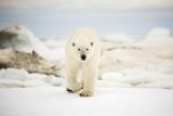 Polar Bear on Hudson Bay Sea Ice, Nunavut Territory, Canada Photographic Print by Paul Souders