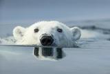 Swimming Polar Bear, Hudson Bay, Nunavut, Canada Fotografisk trykk av Paul Souders