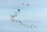 Migrating Flock of Snow Geese, Repulse Bay, Nanavut, Canada Lámina fotográfica por Paul Souders