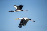 Yellow Billed Storks, Moremi Game Reserve, Botswana Reproduction photographique par Paul Souders