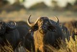 Cape Buffalo, Moremi Game Reserve, Botswana Fotografisk tryk af Paul Souders