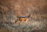 Black-Backed Jackal, Chobe National Park,Botswana Lámina fotográfica por Paul Souders