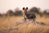 Wild Dog, Moremi Game Reserve, Botswana Lámina fotográfica por Paul Souders