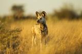 Wild Dog at Dawn, Moremi Game Reserve, Botswana Lámina fotográfica por Paul Souders