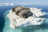 Walruses on Iceberg, Hudson Bay, Nunavut, Canada Fotografie-Druck von Paul Souders