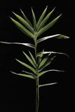 Pleioblastus Distichus (Dwarf Fernleaf Bamboo) Photographic Print by Paul Starosta