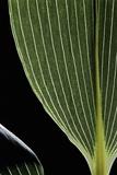 Sasa Kurilensis (Bamboo) - Leaf Photographic Print by Paul Starosta