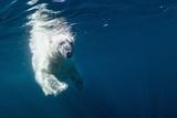 Underwater Polar Bear, Nunavut, Canada Lámina fotográfica por Paul Souders
