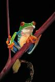 Agalychnis Callidryas (Red-Eyed Treefrog ) Photographic Print by Paul Starosta