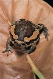 Kaloula Pulchra (Banded Bullfrog) Lámina fotográfica por Paul Starosta