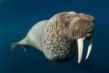 Underwater Walrus, Hudson Bay, Nunavut, Canada Fotografie-Druck von Paul Souders