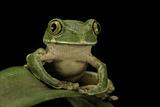Leptopelis Sp. (Forest Treefrog ) Fotografisk tryk af Paul Starosta