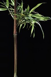 Semiarundinaria Yashadake F. Kimmei (Kimmei Bamboo) Fotografisk trykk av Paul Starosta