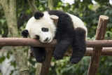 Giant Panda Cub, Chengdu, China Fotoprint van Paul Souders