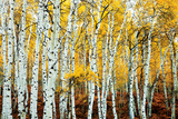 Aspen Grove - Yellow Poster