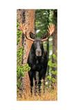 Skinny Chocolate Moose Photographic Print by Gary Crandall