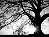 Old Tree Reproduction photographique par  PhotoINC