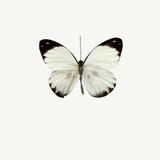 White Butterfly Reproduction photographique par  PhotoINC