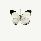 White Butterfly Photographic Print by  PhotoINC