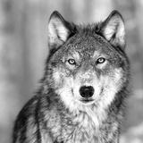 狼 写真プリント