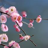 Kirschblüte Fotografie-Druck
