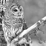 White Owl Fotografie-Druck