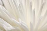 Fleur blanche Reproduction photographique par  PhotoINC