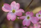 Pink Dogwood Tree in Flower 2 (Spring Botanical) Autocollant mural par Henri Silberman