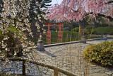 Cherry Blossoms in Japanese Garden Muursticker van Henri Silberman