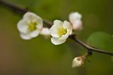 Japanese Flowering Quince Muursticker van Henri Silberman