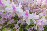 Pink Azalea, Close-Up 3 (Spring Botanical) Muursticker van Henri Silberman