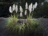 Pampas Grass (Native Grass, Oakland, CA) Muursticker van Henri Silberman