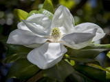White Magnolia Blossom Close-Up Wandtattoo von Henri Silberman