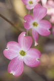 Pink Dogwood Blooms Close-Up Muursticker van Henri Silberman