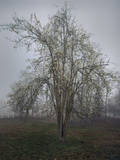 Apple Tree Chapel Hill Muursticker van Henri Silberman