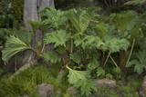 Gunnera Leaves (Botanical Garden, Golden Gate Park, San Francisco, CA) Muursticker van Henri Silberman