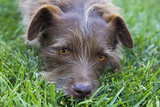 Dog in Grass, Close-Up (Cute Mix-Breed) Autocollant mural par Henri Silberman