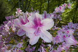 Pink Azalea Close-Up Veggoverføringsbilde av Henri Silberman