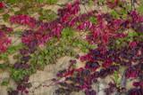 Boston Ivy in Fall Muursticker van Henri Silberman