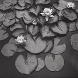 Water On Lily Pads - Brooklyn Botanic Gardens Autocollant mural par Henri Silberman