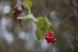 Red Berries and Leaves Close-Up Muursticker van Henri Silberman