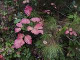 Red Leaves Poison Oak (Fall Botanical) Muursticker van Henri Silberman