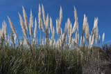 Pampas Grass Veggoverføringsbilde av Henri Silberman