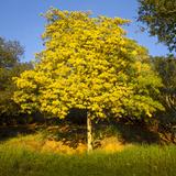 Acacia Tree in Bloom, Oakland, CA (Yellow Flowering Tree) Muursticker van Henri Silberman